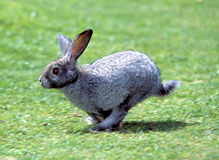 Rabbit. A Running Brown Pet Rabbit Royalty Free Stock Image