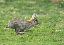 Rabbit Running Royalty Free Stock Image