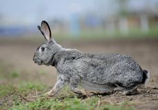 Rabbit runs Stock Photo