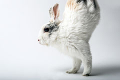 Rabbit runs on two front paws Stock Photos