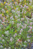 Rabbit`s foot Clovers Background. A background of wild Rabbit`s-foot clovers, also known as Hare`s Foot or Oldfield clovers Stock Photo