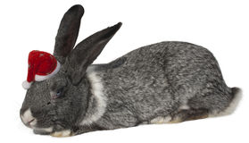 Rabbit with santa hat. Stock Photos