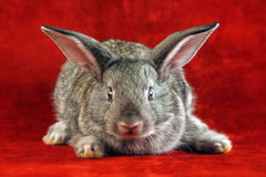 Rabbit with scared face. Grey rabbit sitting in the corner watching scared royalty free stock photography