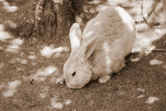 Rabbit in Sepia Tone. A close up of a rabbit in sepia tone royalty free stock images