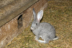The rabbit is in the shed on the farm Royalty Free Stock Photo