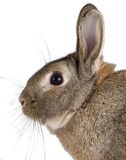 Rabbit side Royalty Free Stock Photo
