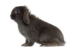 Rabbit sitting Royalty Free Stock Image