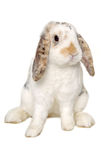 Rabbit sitting Royalty Free Stock Photos
