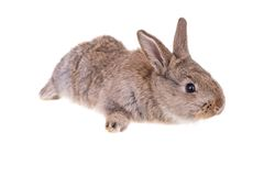 Rabbit sitting against Royalty Free Stock Photography