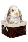Rabbit sitting in a basket Royalty Free Stock Photos