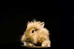 Rabbit sitting on a black background Stock Photos