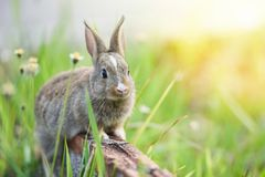 Rabbit sitting on brick and green field spring meadow / Easter bunny hunt for festival on grass stock photos