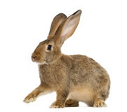 Rabbit sitting Stock Images