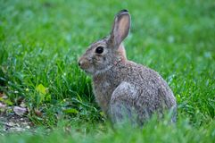 Young Rabbit Sitting in the Grass stock photo