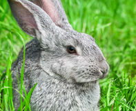 Rabbit sitting in grass Stock Images
