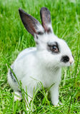 Rabbit sitting in grass Stock Image