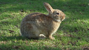 Rabbit sitting on grass stock footage