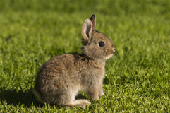 Rabbit. Sitting on the grass with sunset evening Stock Images