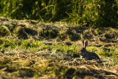 A rabbit sitting in the grass Royalty Free Stock Photography