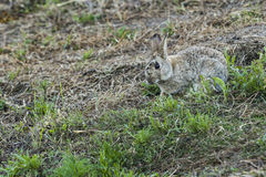 A rabbit sitting in the grass Stock Photo