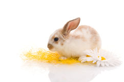 Rabbit sitting on grass with yellow daisies Royalty Free Stock Photos