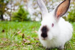 Rabbit sitting on green grass Royalty Free Stock Photography