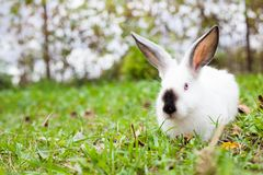 Rabbit sitting on green grass Royalty Free Stock Image