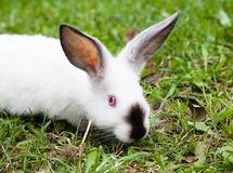 Rabbit sitting on green grass Royalty Free Stock Images