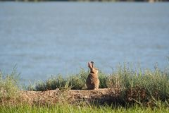 Rabbit sitting looking at the lake, read royalty free stock images