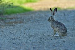 A  Rabbit sitting and lost in full throughts. This rabbit is just taking a break from his continuous hops on the road royalty free stock photos