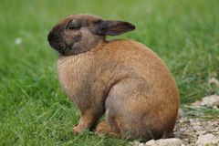 Rabbit sitting in a meadow Royalty Free Stock Images
