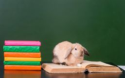 Rabbit sitting on open book in classroom Stock Images