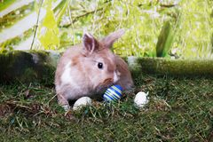 Happy Easter Rabbit cutely looking at eggs. A Rabbit sitting outdoors and cutely looking at Easter eggs Royalty Free Stock Photos