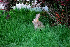Rabbit sitting outside. Stock Images