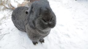 Rabbit sitting in the snow stock footage