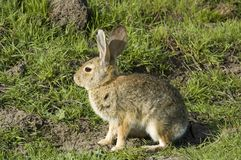 Rabbit sitting and waiting. Common cottontail rabbit sitting and waiting for Easter Stock Photos