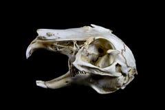 Rabbit Skull On Black Background Royalty Free Stock Image