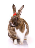 Rabbit with small bow Royalty Free Stock Photo