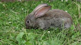 Rabbit stock footage