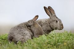 Rabbit with a small rabbit Royalty Free Stock Photography