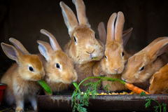 Rabbit and small rabbits. Eat carrots Royalty Free Stock Images