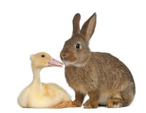 Rabbit sniffing duckling Stock Photography