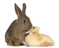 Rabbit sniffing duckling Stock Photo