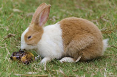 Rabbit is sniffing rotten mango. In the garden Royalty Free Stock Photo