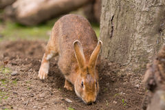 Rabbit sniffing soil Royalty Free Stock Photos