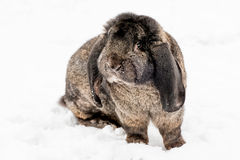 Rabbit on the snow Royalty Free Stock Images