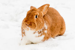 Rabbit on the snow Stock Image
