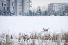 Rabbit in snow Royalty Free Stock Photos