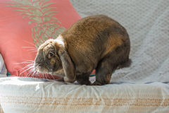Rabbit on sofa Royalty Free Stock Photography