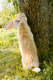 Rabbit Standing on Hind Legs near Tree Stock Image